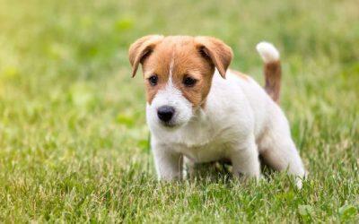 Kako naučiti štene da obavlja nuždu vani?