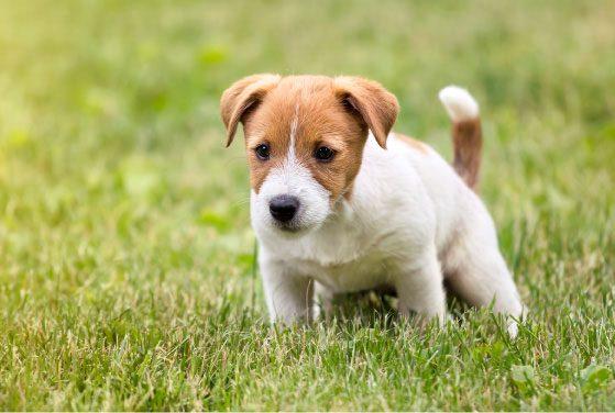Štene obavlja nuždu na travi; izvor: reddogs © 123rf.com