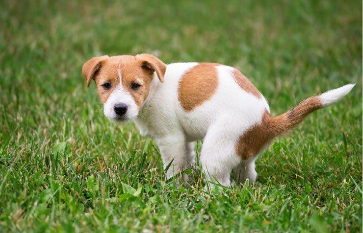 Štene obavlja veliku nuždu na travi; izvor: reddogs © 123rf.com
