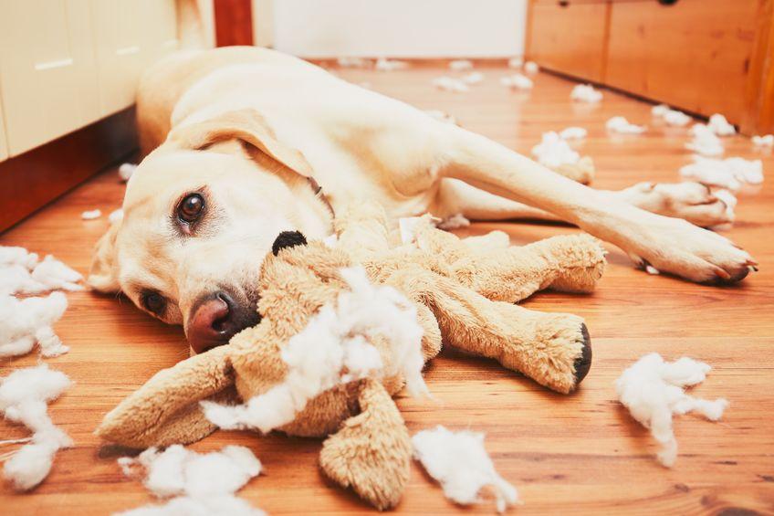 pas leži među rastrganim igračkama